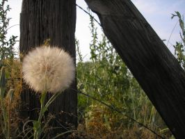 puff ball and fence by bwall49