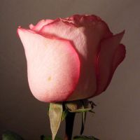 Macro Rose Preview 4 by kythca-stock