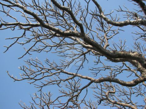Chafa Branches without leaves by vishwas
