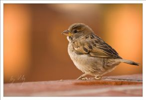 Little Sparrow by Vilq