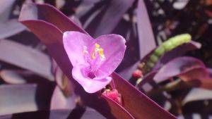 Inch Plant Flower by AnonymousRabbitLover