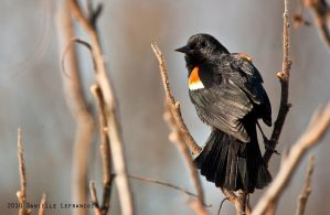 Red Wing Black Bird by Dani-Lefrancois