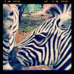 Hanging with the Zebras by strangerswithkandi