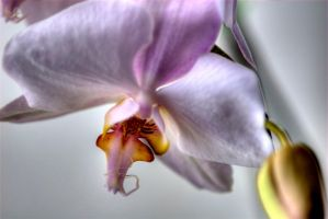 Orchid 31 by Art-Photo