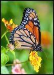Monarch Butterfly by Eccoton