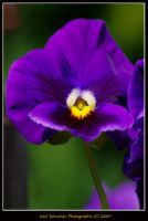 Purple Pansy by KSPhotographic