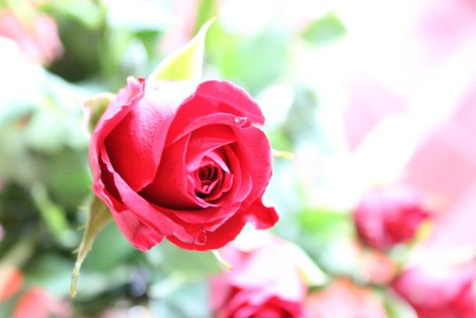 Red Rose by frimmi