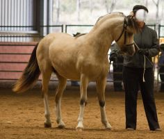 STOCK - 2014 Welsh QLD Show-49 by fillyrox
