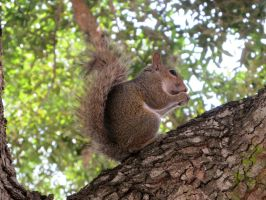 Squirrel in tree 2 by WisteriasWeb