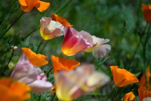 Mission Bell Poppies by StephGabler