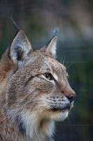 Siberian Lynx by Pale-Recluse