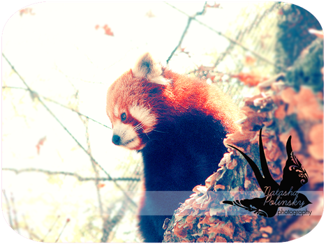 Red Panda by loveletternotes