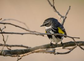 Yellow Rumped Warbler- 2 by JestePhotography