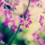 Fairy Primrose by nhuthanh