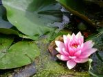 Pink waterlily by snoogaloo