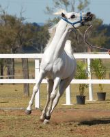 GE Arab white little leap head tossedup front view by Chunga-Stock