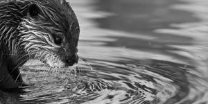 Bathing Otter by Yslen