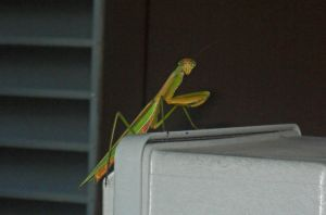 lone Mantis of the Apocalypse by JDAWG9806