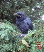 Crom (Carrion Crow) around 45 days old. by somk