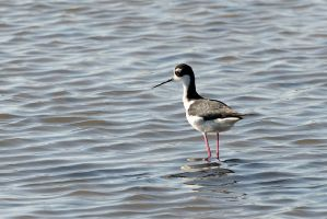 Black Necked Stilt by FeralWhippet