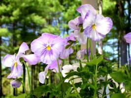 pansies by PhotographyByKendra