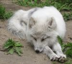 Arctic Fox 651 by caybeach