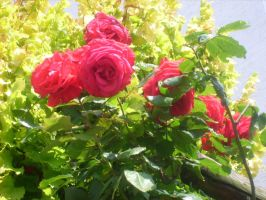 red roses in garden by ingeline-art