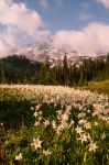 Avalance of Lilies by Joshua-Cramer