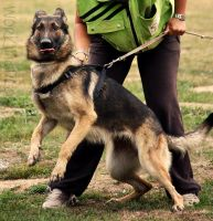 Derp Schutzhund by WorkingDogs