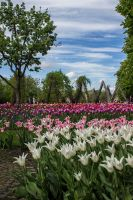 13-05 tulips #9 by evionn