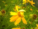 Lanceleaf Coreopsis by Faroreswind159