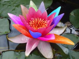 Multicoloured Lilly on Pool by jacko56