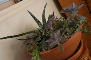 Succulents by snoopysoap