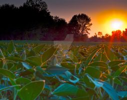 soybeans in sunset by redvoodoo378