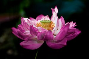 lotus with dark background by jaywang