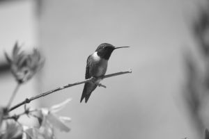 Hummer in black and white by Laur720
