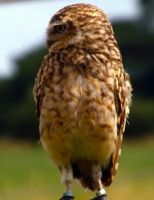 Burrowing Owl by markeverard