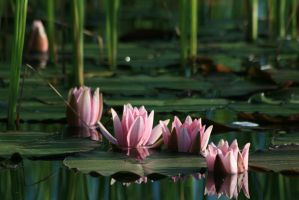 water lily 5 by Drezdany-stocks