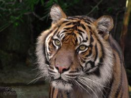 Sumatran Tiger by taubu-lion