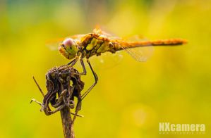 Dragon-fly by NXcamera