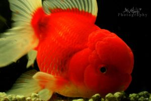 Goldfische by Avelith