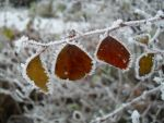 Frosted leaves by RhiRhi1234