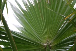 Fan Palm Leave by VarukaBlue