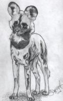 African Wild Dog by greyviolett