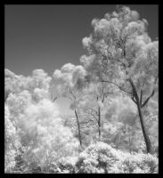 Infared Trees by chefjack