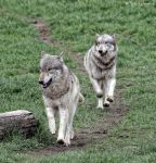 running wolves by Yair-Leibovich