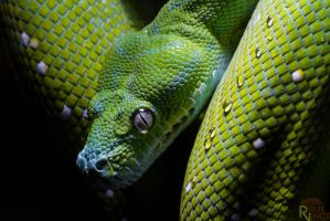 Green Tree Python by ryanvince