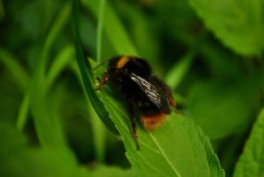 Resting Bee by TeKNoMaNiaCH