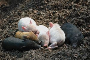 Sleeping piglets by grugster