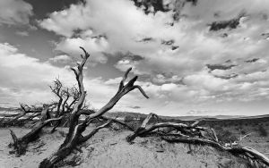 Dead Trees at Mesquite Dunes by nathanspotts